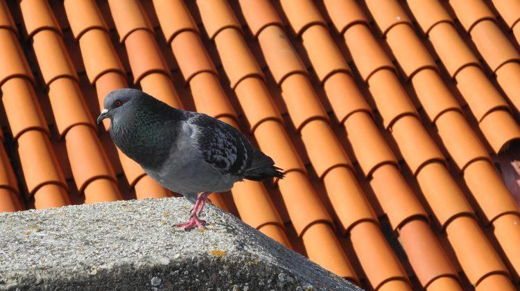 odstraszacz gołębi